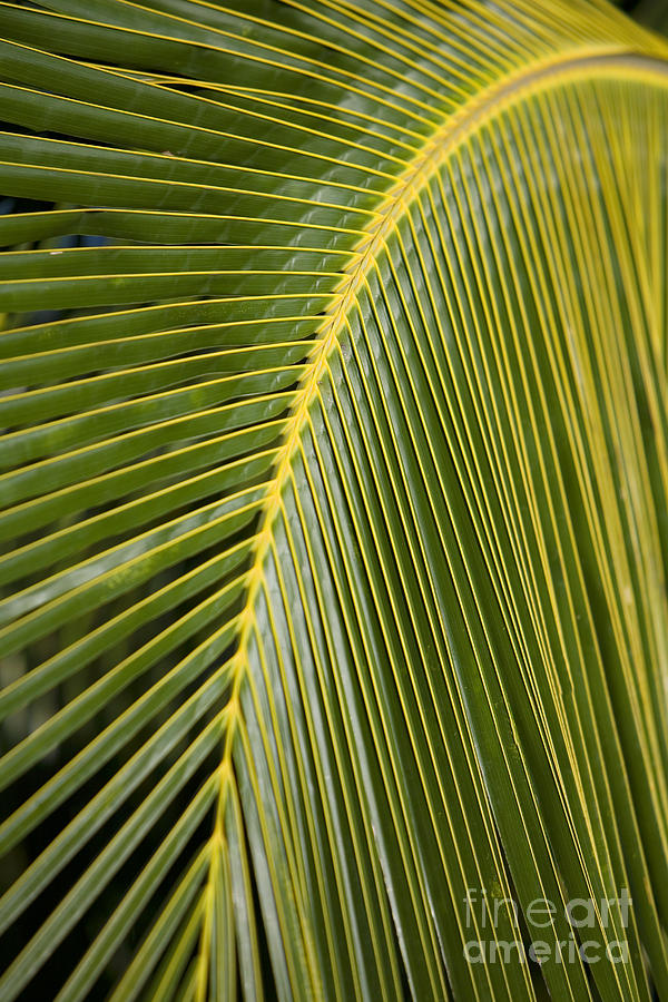 Angle Photograph - Green Palm Leaf by Ron Dahlquist - Printscapes