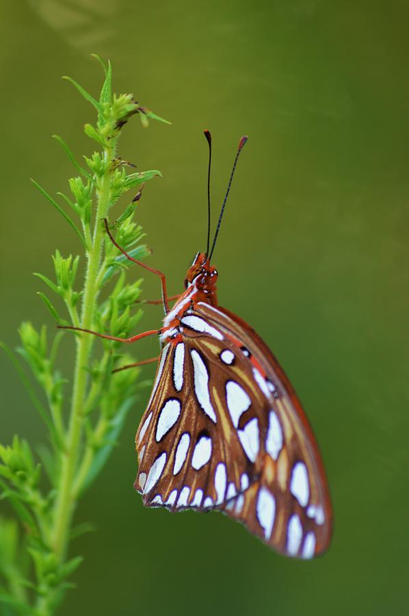Gulf Fritillary Butterfly Photograph - Gulf Fritillary Butterfly by Warren Thompson