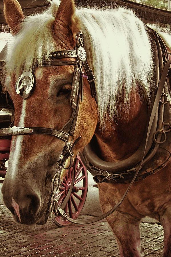 Blinders Photograph - Haflinger Pony by Dressage Design