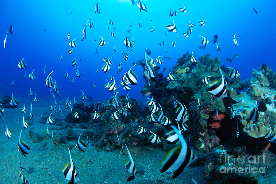 Blue Photograph - Hawaiian Reef Scene by Dave Fleetham - Printscapes