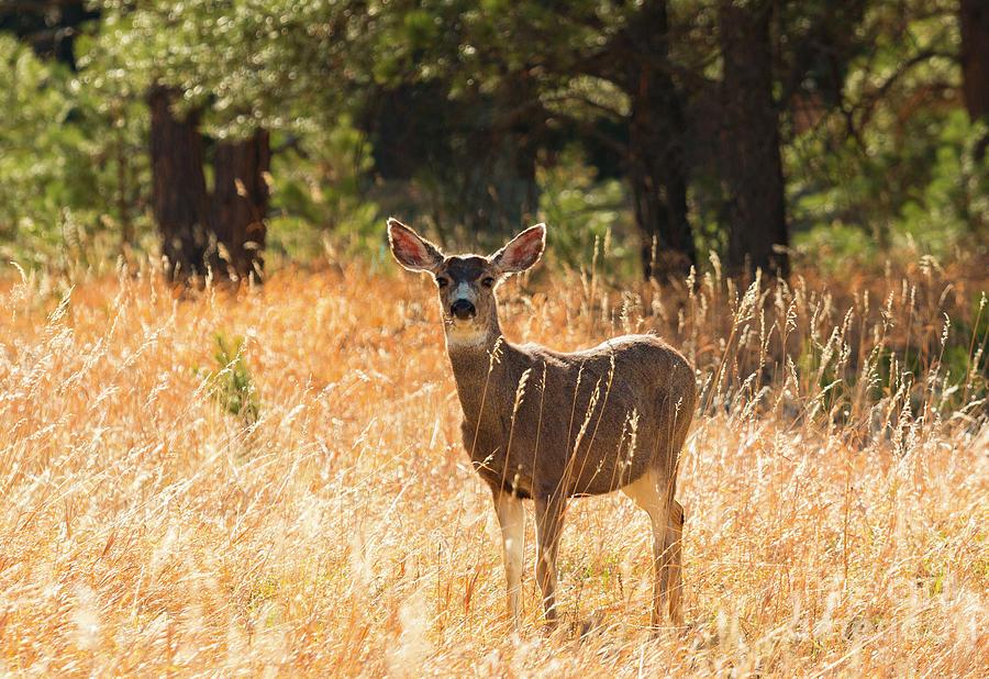 Herd Of Mule Deer Photograph