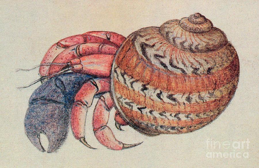 Hermit Crab Drawing - Hermit Crab  by John White