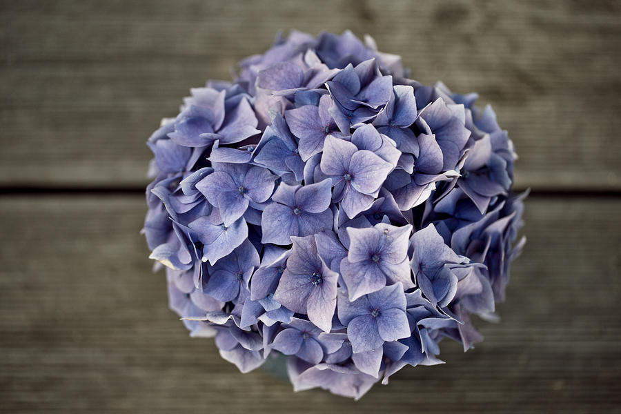 Hortensia Flowers Photograph