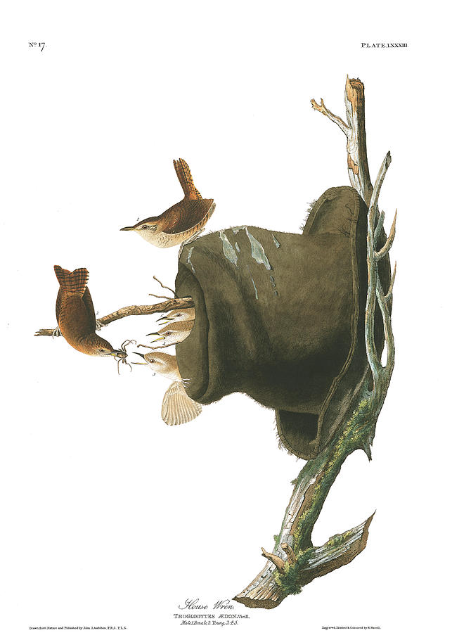 House Wren Painting - House Wren by John James Audubon