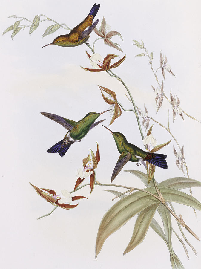 Gould Painting - Hummingbirds by John Gould