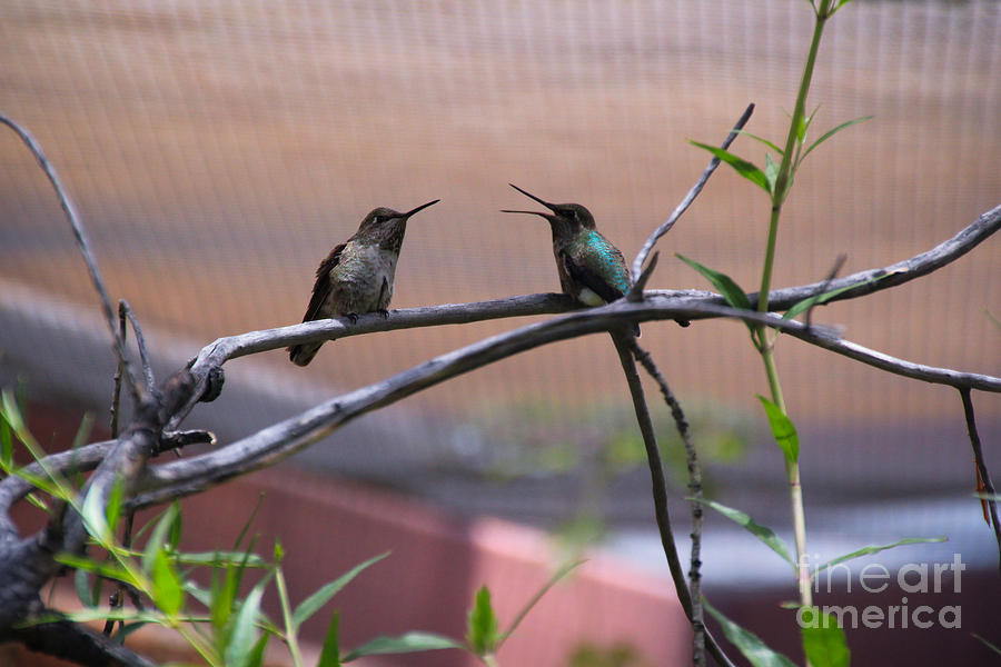 2 Hummingbirds Photograph by Kevin Mcenerney