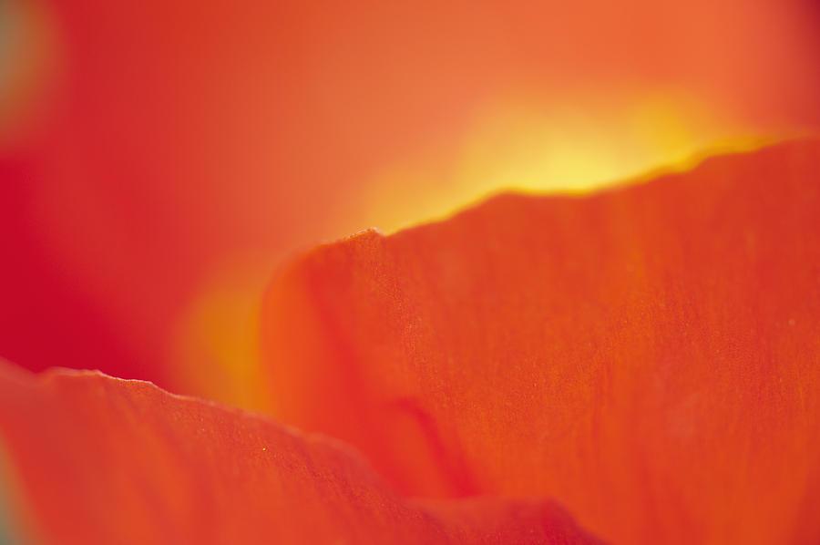 Flower Photograph - Iceland Poppy by Silke Magino