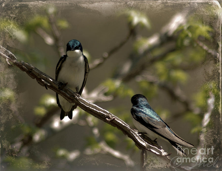 Tree Swallow Photograph - 2 In A Tree by Michele Hancock