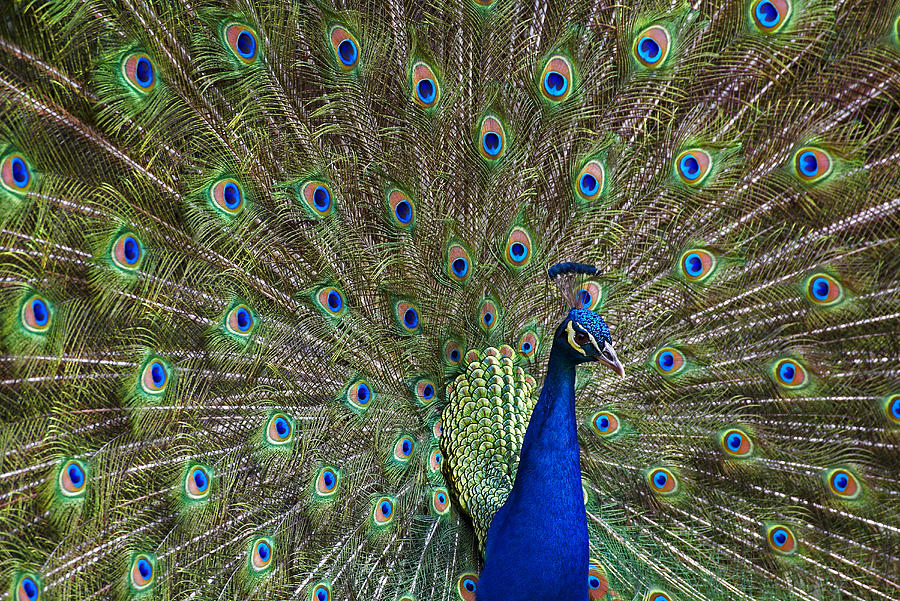 Indian Peafowl Male With Tail Fanned Photograph by Tim Fitzharris