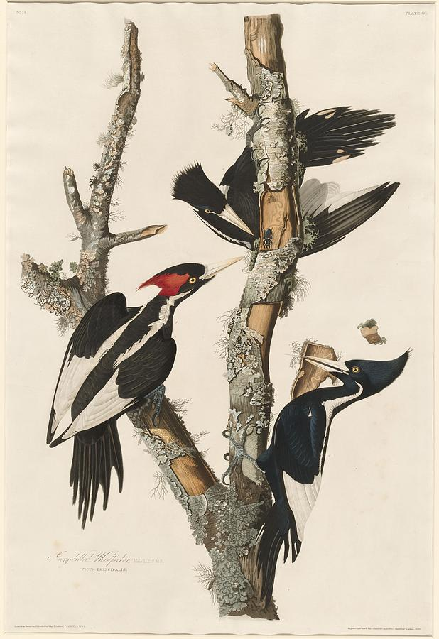Audubon Drawing - Ivory-Billed Woodpecker by Dreyer Wildlife Print Collections