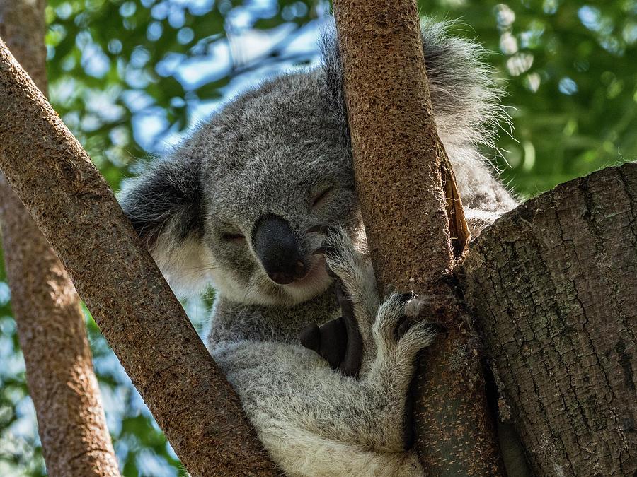 Koala by Walt Sterneman