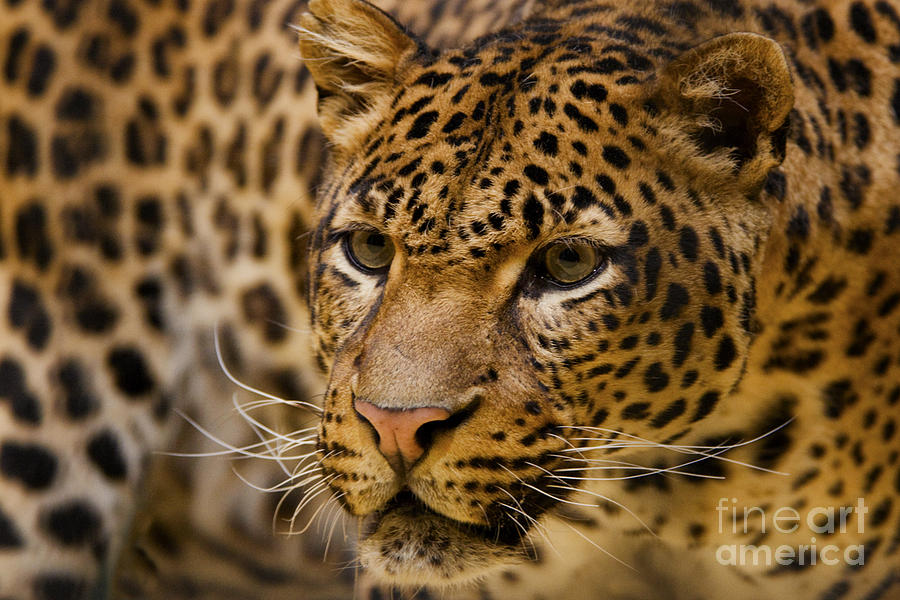 Leopard Photograph - Leopard by White Stork Gallery