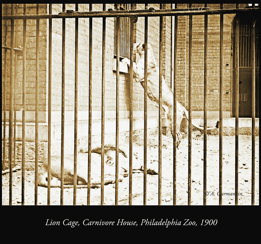 Lion Photograph - Lion Cage, Carnivore House, Philadelphia Zoo, C. 1900 by A Gurmankin
