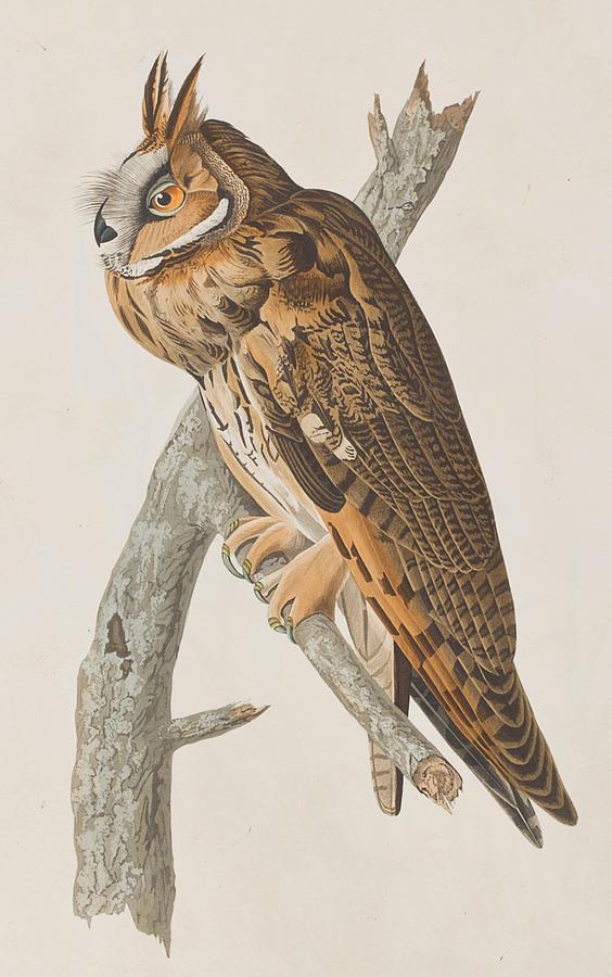 Long-eared Owl Painting - Long-eared Owl by John James Audubon