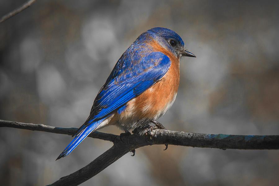 Bluebird Photograph - Male Eastern Bluebird by Robert L Jackson