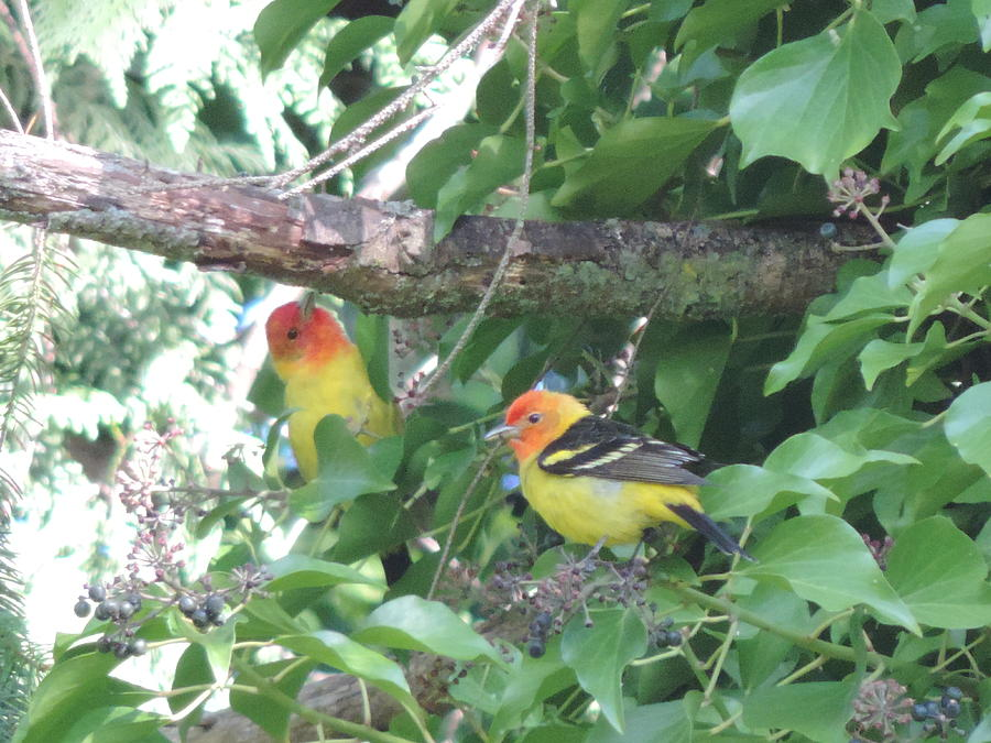 Birds Photograph - 2 Male Western Tanagers by Alora Peterson