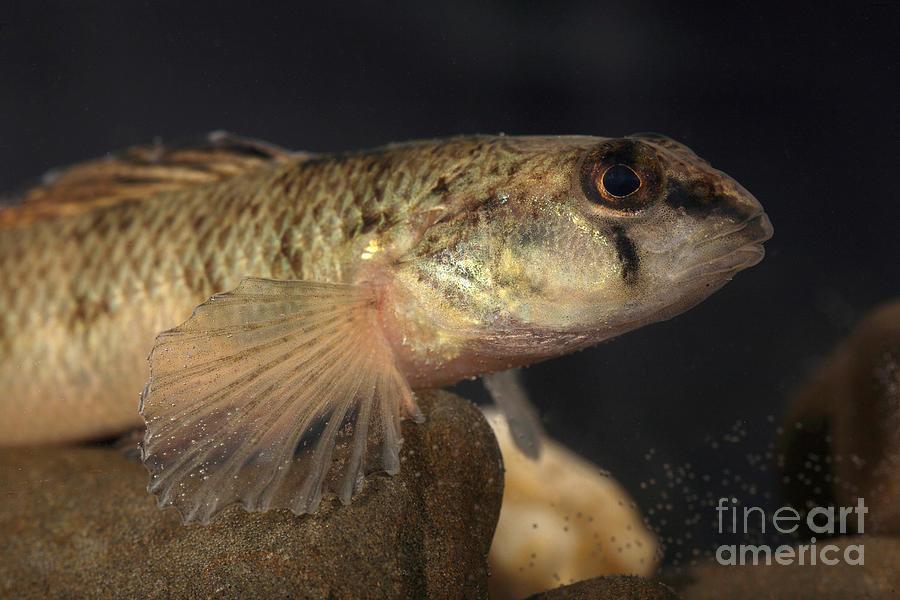 Animal Photograph - Mobile Logperch Percina Kathae by Ted Kinsman