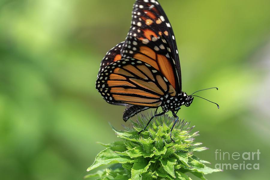 Monarch Butterfly Photograph - Monarch Butterfly by Dylan Brett