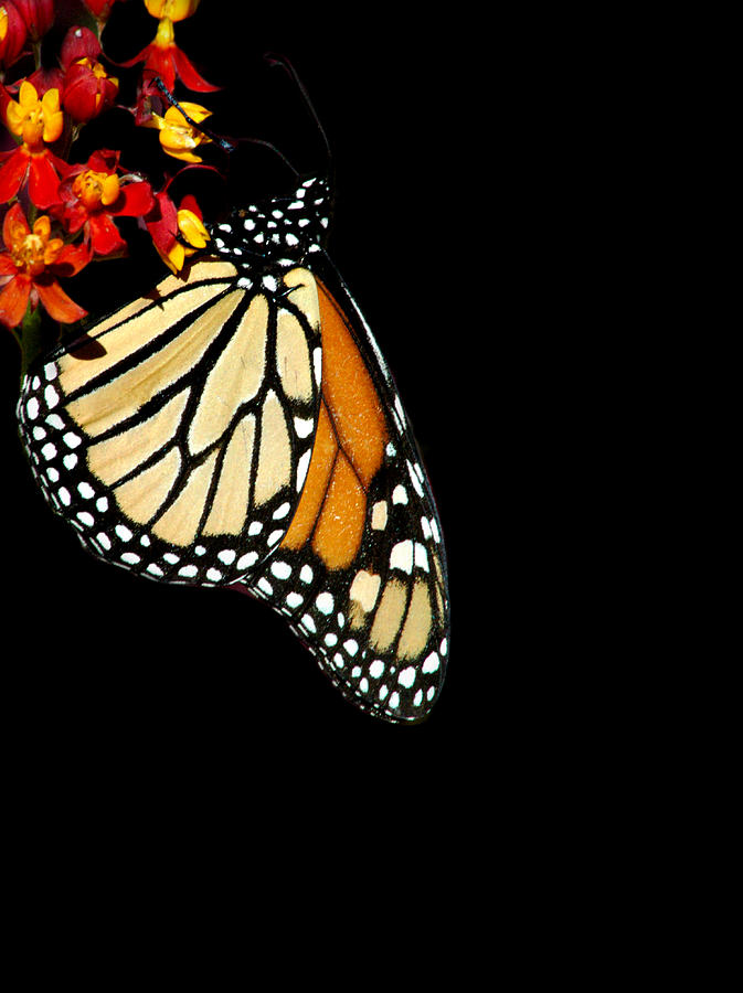 monarch by David Weeks