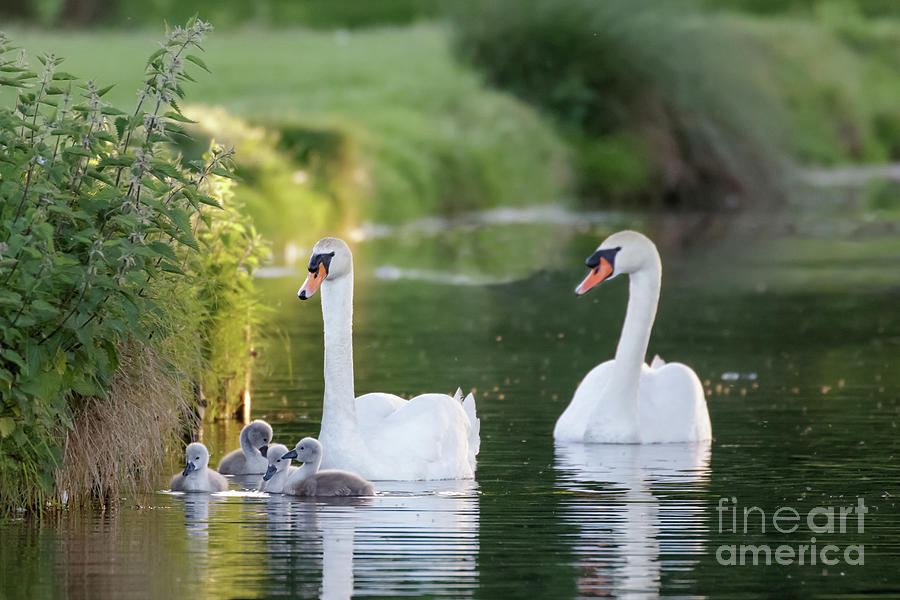 Anatidae Photograph - Mute Swan - Cygnus Olor - Adult And Cute Fluffy Baby Cygnets, Swim by Paul Farnfield