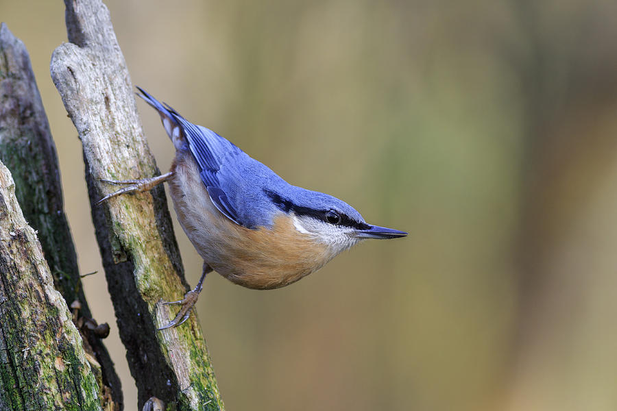 Animal Photograph - Nuthatch -- by Chris Smith