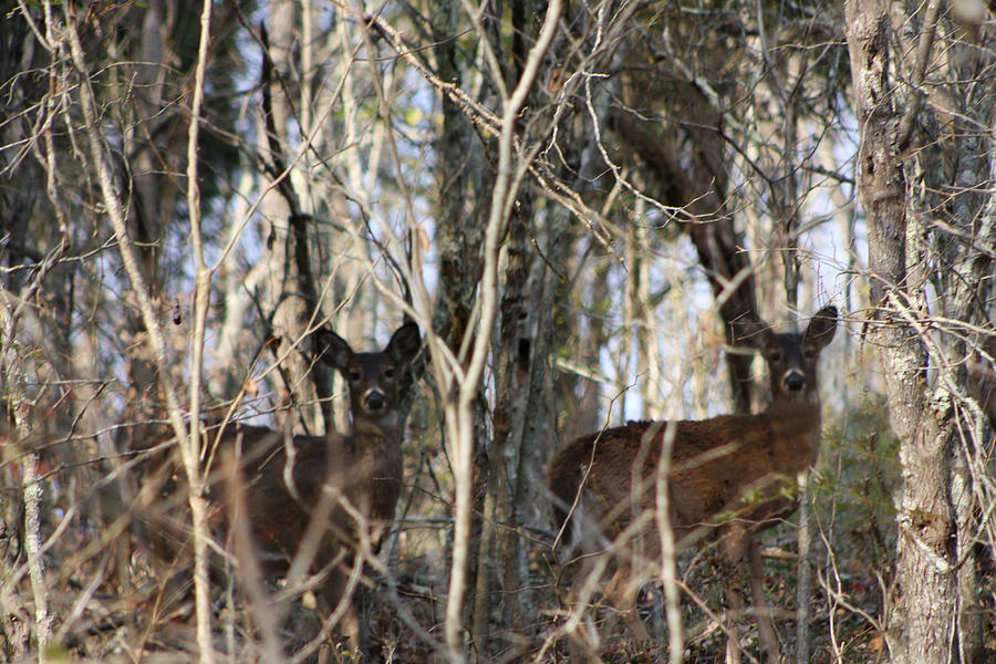 Deer Photograph - 2 Of A Kind by Martie DAndrea