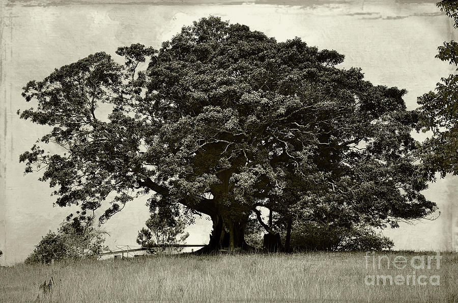 Tree Photograph - Old Fig Tree by Kaye Menner