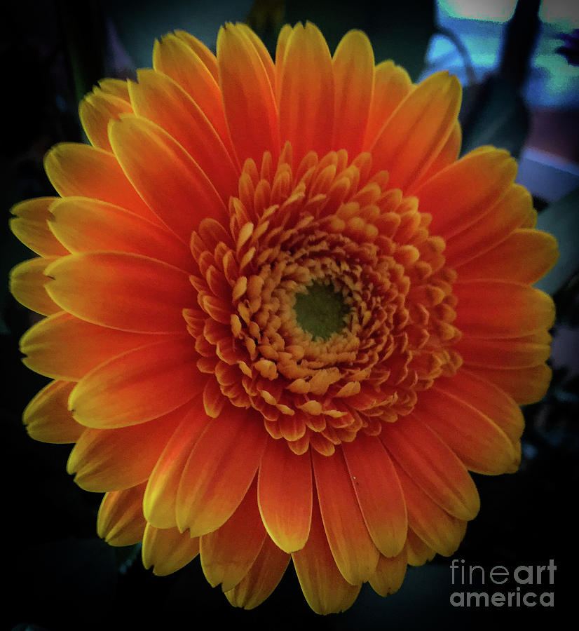 Gerber Daisy Photograph - Orange by Joseph Yarbrough