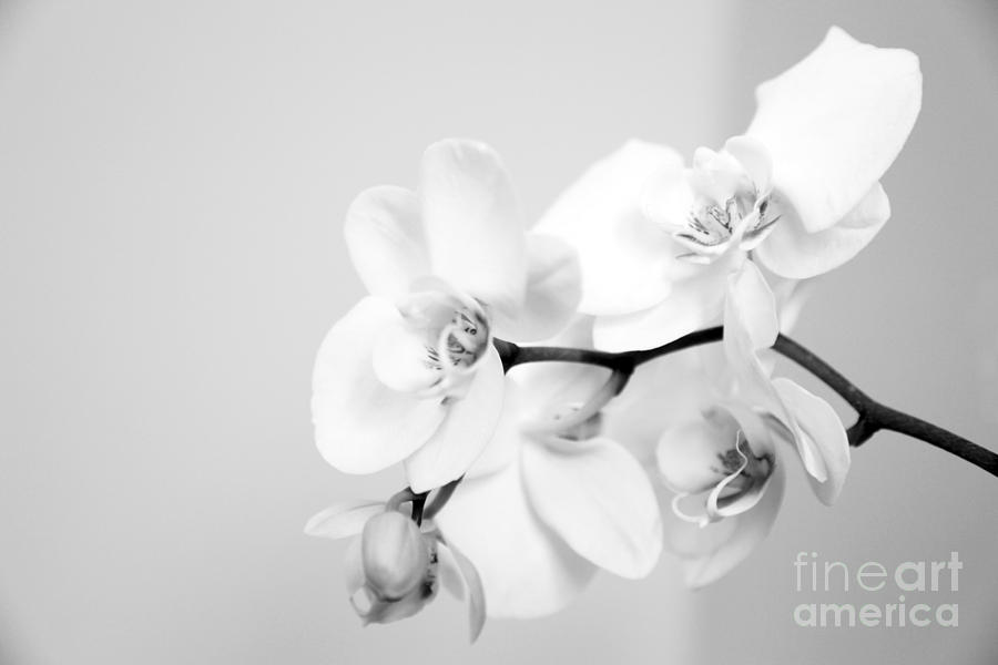 Orchid Photograph - Orchid by Amanda Barcon