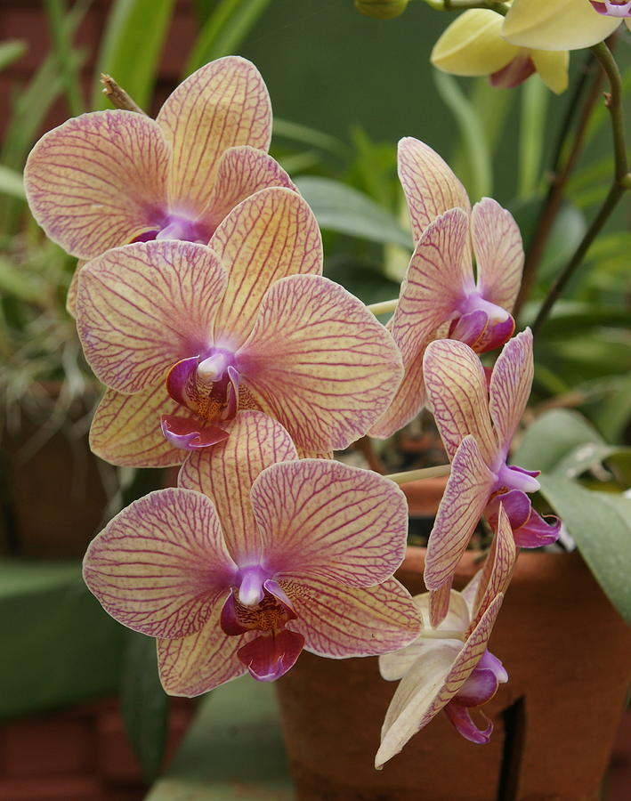 Orchid Photograph - Orchid by Olaf Christian