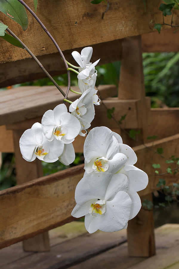 Flower Photograph - Orchid by Theo Tan