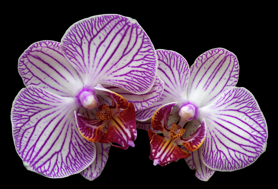 Orchids Photograph - 2 Orchids by George Sanquist