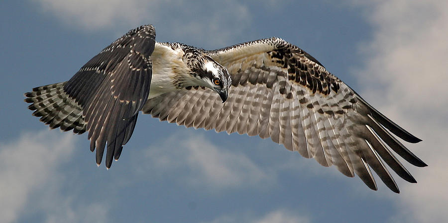 Osprey Photograph - Osprey Flight by Larry Linton