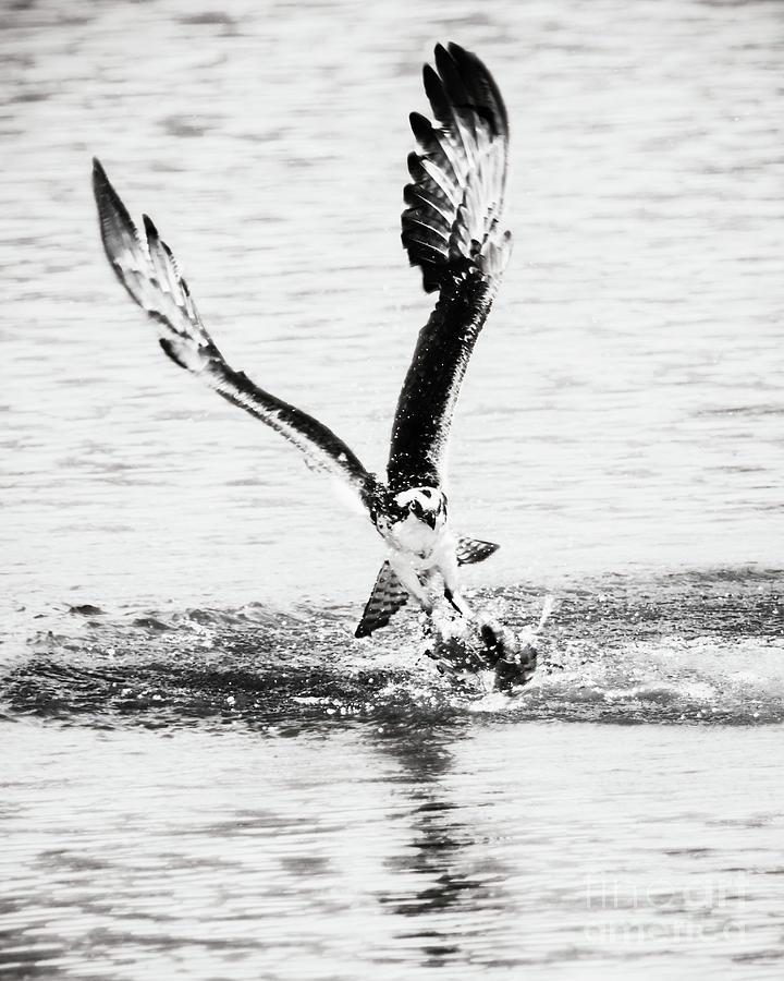 Osprey Photograph - Osprey by Michael McStamp