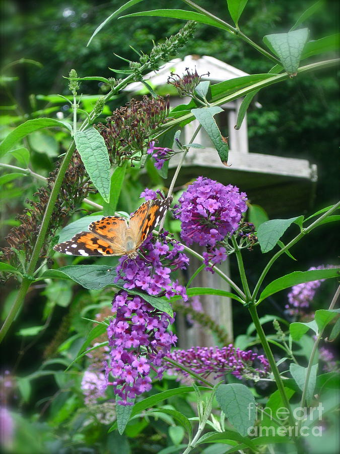 Purple Flowers Photograph - Painted Lady Butterfly by Nancy Patterson
