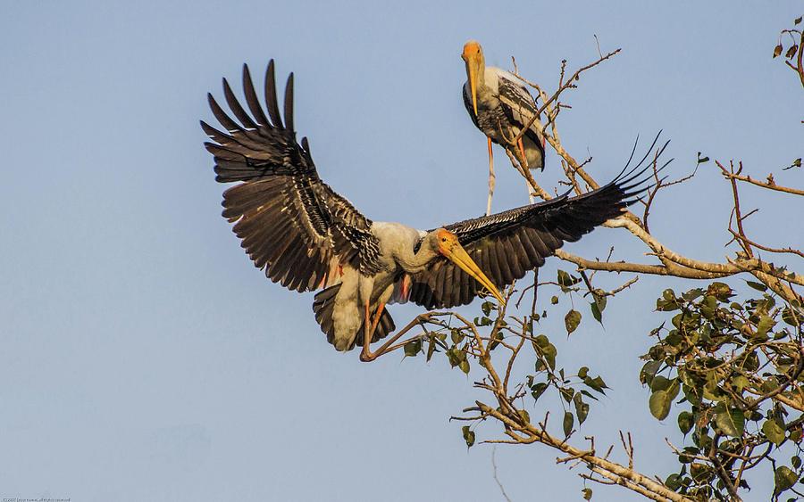 Stork Photograph - Painted Stork  by Manjot Singh Sachdeva