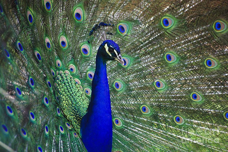 Peacocks Photograph - Peacock by Jill Lang