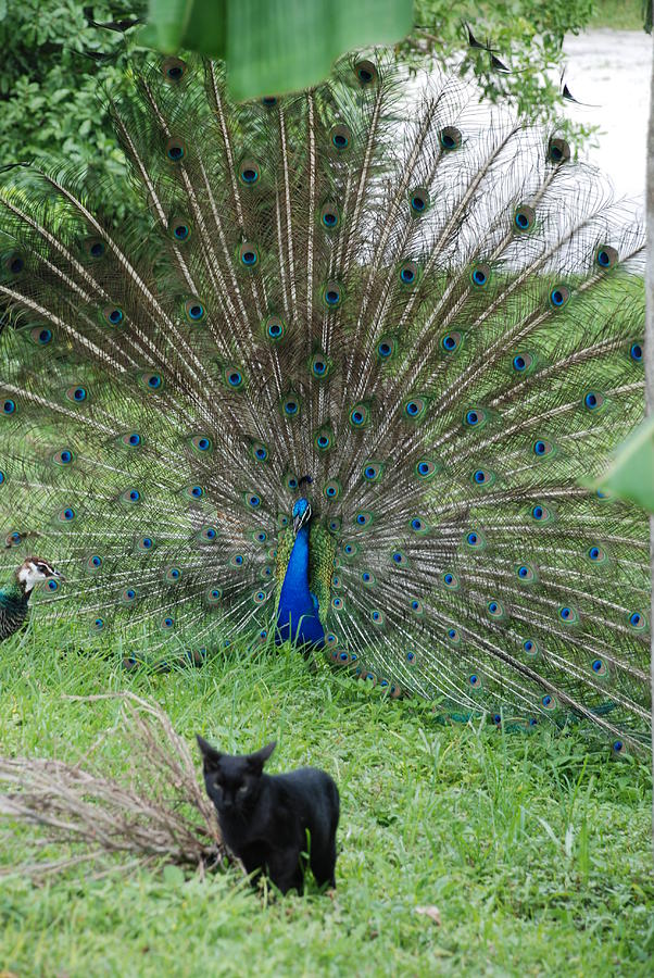 Animals Photograph - 2 Peacocks And A Black Pussy Cat by Rob Hans