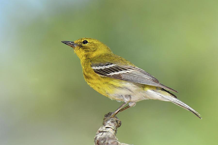 Bird Photograph - Pine Warbler by Alan Lenk