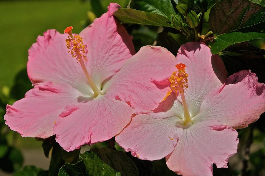 Pink Photograph - 2 Pink Hibiscus by Eddie Freeman