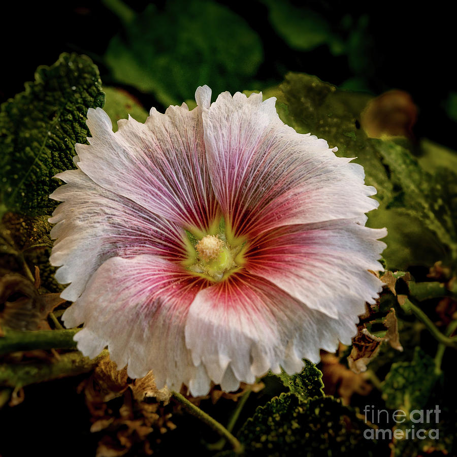 Alcea Rosea Photograph - Pink Hollyhock by Robert Bales