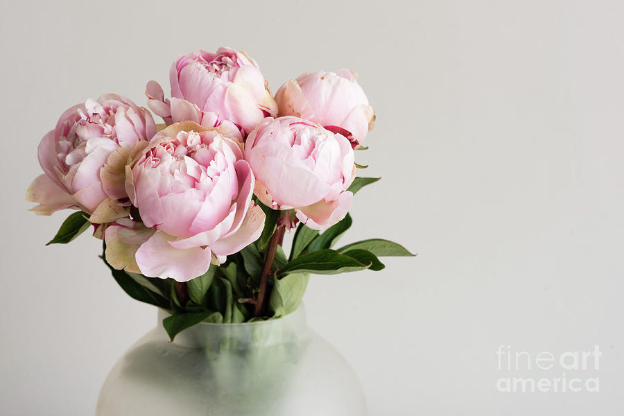 Background Photograph - Pink peonies by Natalie Board