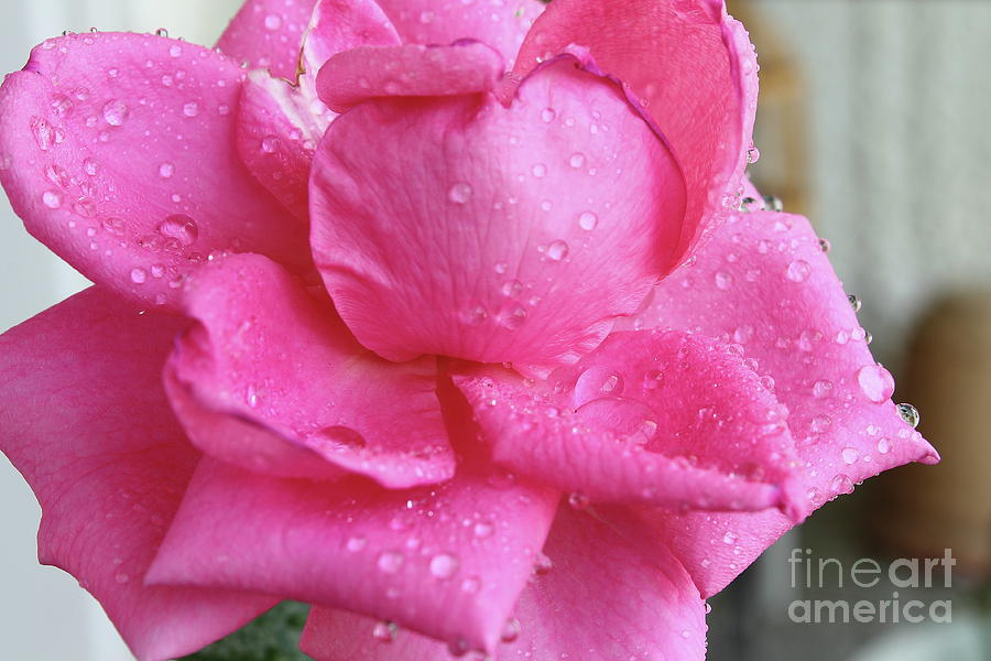 Pink Rose Close Up With Water Drops Photograph