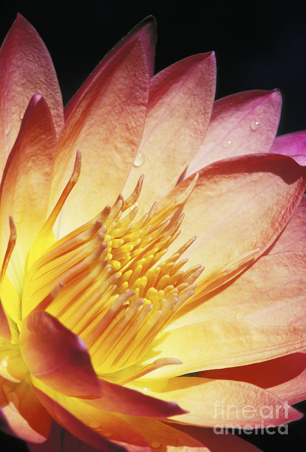 Abstract Photograph - Pink Water Lily by Bill Brennan - Printscapes