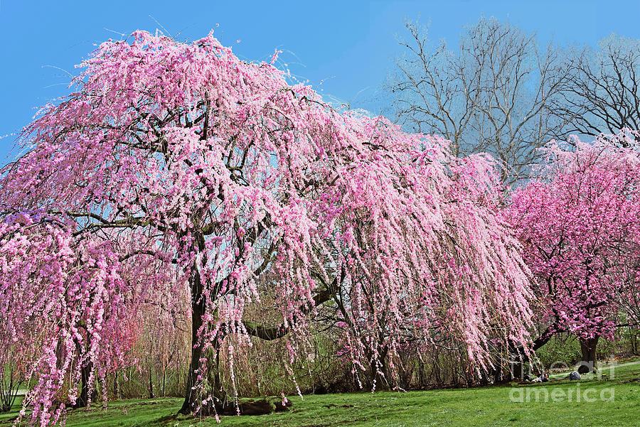 Pink Weeping Cherry Tree In Bloom Photograph By Regina Geoghan
