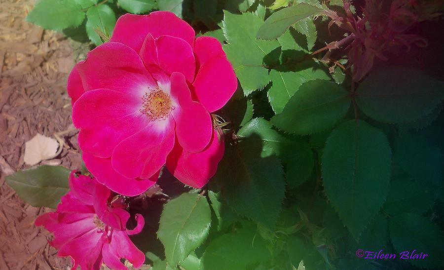Rose Photograph - Pinkrose by Eileen Blair