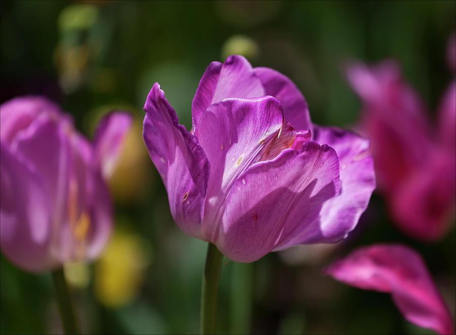Tulips Photograph - Purple Tulip by Robert Ullmann