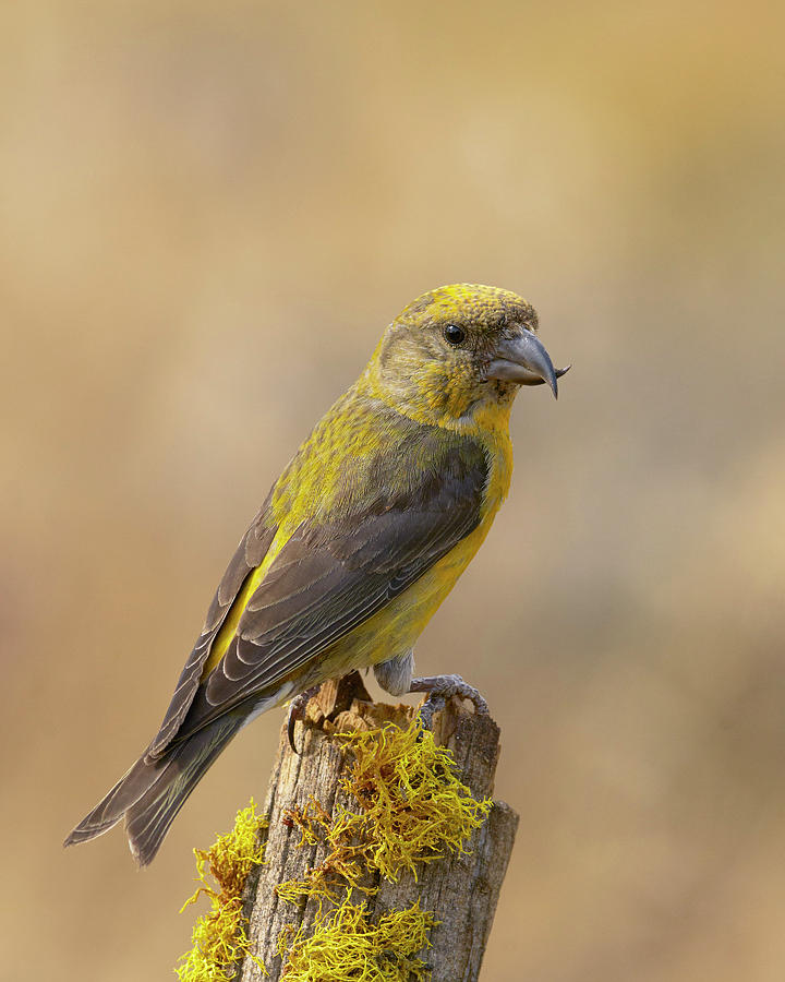 Birds Photograph - Red Crossbill by Doug Herr