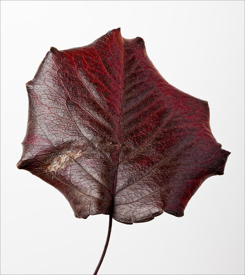 Leaf Photograph - Red Leaf 4 by Robert Ullmann