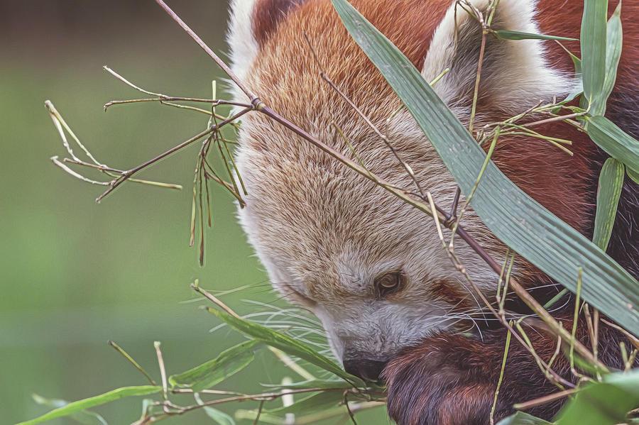 Red Panda Photograph - Red Panda. 2 by Angela Aird